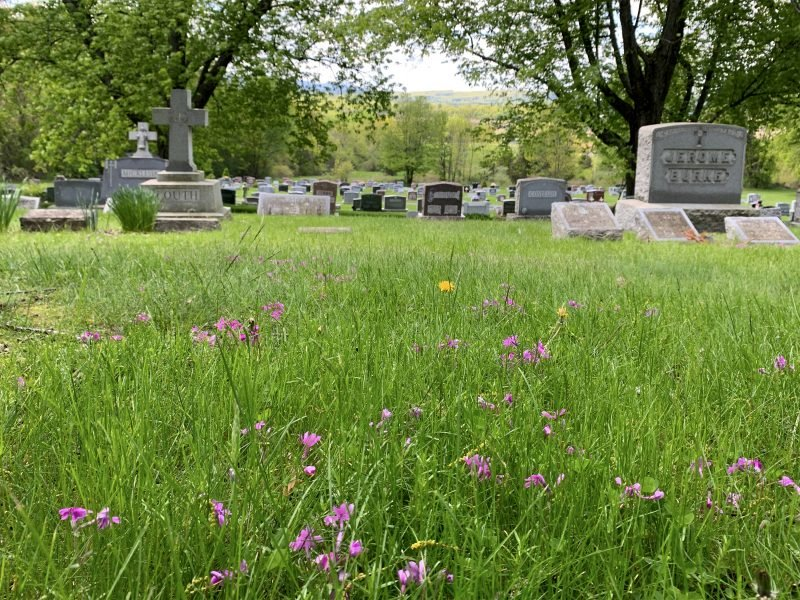 Spring phlox in St. Mary's Cemetery Coxsackie, NY.
